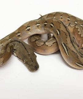 Female Platinum het Anery Super Dwarf Reticulated Python CB18