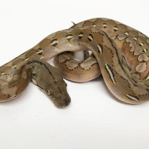 Female Platinum het Anery Super Dwarf Reticulated Python CB18