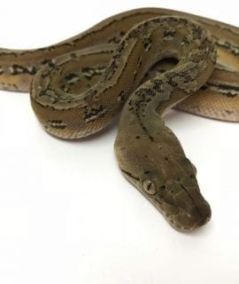 Female Platinum Marble het Anery Super Dwarf Reticulated Python CB18