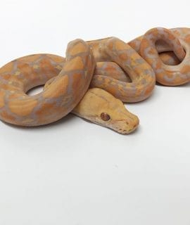 Male Lavender Albino Mainland Reticulated Python CB18