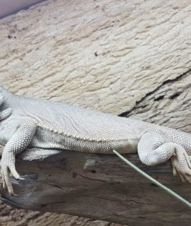 Zero Bearded Dragon Adult Male CB