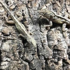 0.0.1 Brown Anole WC