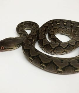 Male Classic het Anery Super Dwarf Reticulated Python CB18