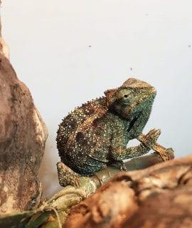 Elliots Chameleon (Blue chameleon)