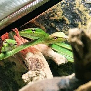 Asian Green Vine Snake