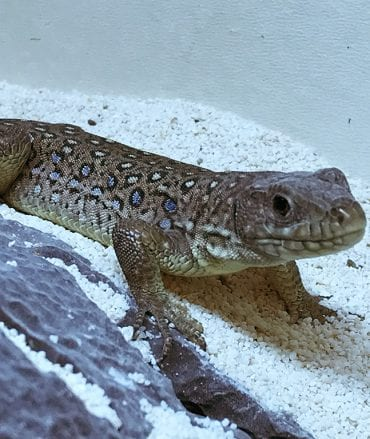 Occelated Lizard