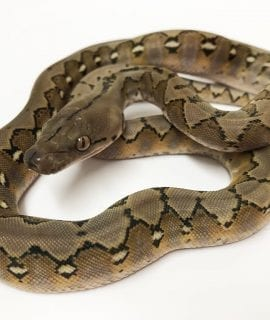 Male Platinum het Anery Super Dwarf Reticulated Python CB18