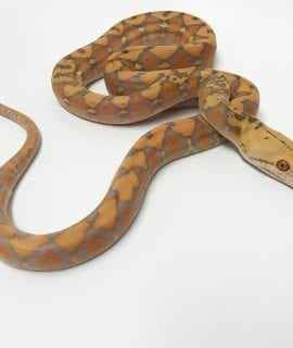 Female Purple Albino Mainland Reticulated Python CB18