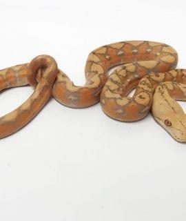 Male Purple Sunfire Mainland Reticulated Python CB18