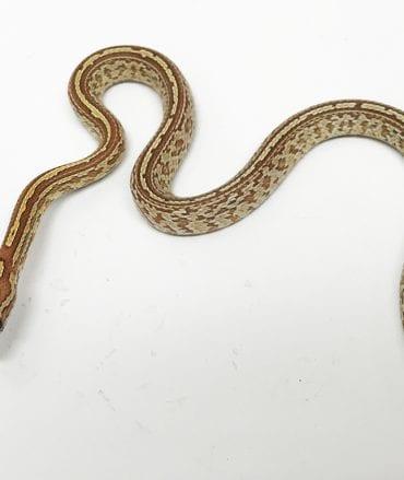 Strawberry (JMG) Anery Tessera Corn Snake CB17