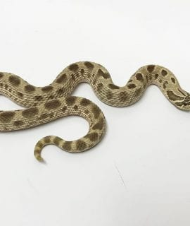 Female Anaconda Western Hognose CB16