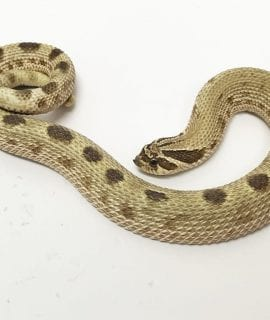 Male Red Anaconda Western Hognose CB16