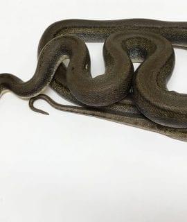 Male Titanium Mainland Reticulated Python het Albino Mainland Reticulated Python CB14