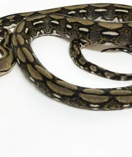 Male Tiger Mainland Reticulated Python CB16