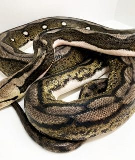 Male Citron Motley Tiger poss het Albino Mainland Reticulated Python CB13