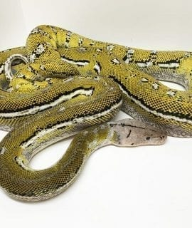 Female Platinum Anthrax Mainland Reticulated Python CB14