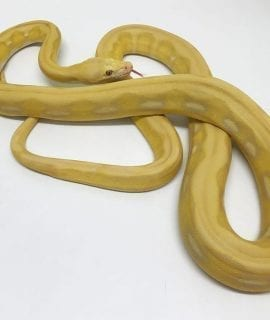 Female Lavender Sunfire Tiger Mainland Reticulated Python CB17
