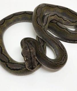 Male Motley Citron poss het Albino Mainland Reticulated Python CB16