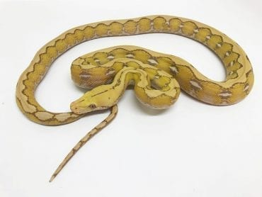 Male Platinum Foulsham Caramel Mainland Reticulated Python CB17