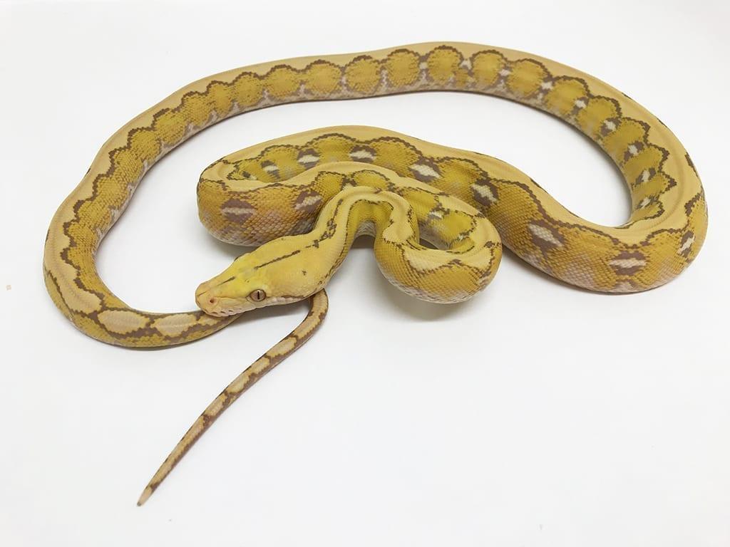 Male Platinum Foulsham Caramel Mainland Reticulated Python CB17