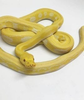 Male White Platinum Tiger Mainland Reticulated Python CB15
