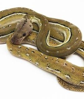 Female Platinum Anthrax Mainland Reticulated Python CB17