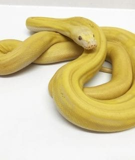 Male Lavender Sunfire Super Tiger Citron Mainland Reticulated Python CB15