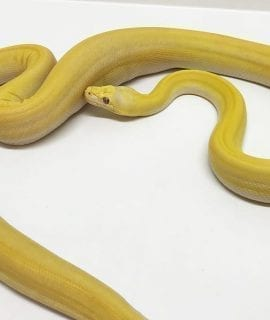 Male White Super Tiger Titanium Mainland Reticulated Python CB15
