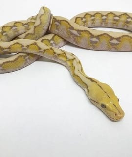 Male Foulsham Caramel Mainland Reticulated Python CB17