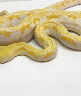 Female White Citron Mainland Reticulated Python CB16
