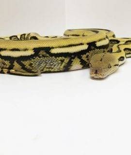 Female Tiger het Foulsham Caramel Mainland Reticulated Python CB16