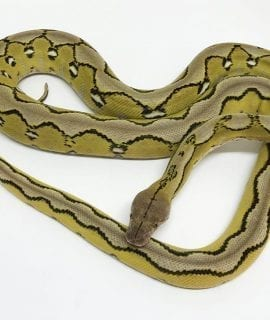 Female Sunfire Platinum het Foulsham Caramel Mainland Reticulated Python CB16