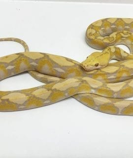 Female Coral Mainland Reticulated Python CB16