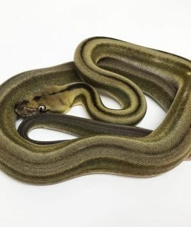 Female Tiger Titanium Mainland Reticulated Python CB18