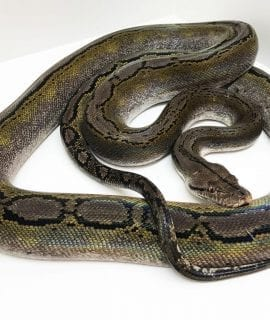 Female Sunfire Motley het Albino Mainland Reticulated Python CB13