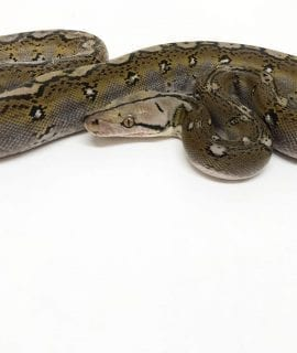Female Motley het Purple Albino poss het Anthrax Mainland Reticulated Python CB17