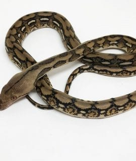 Male Tiger poss het Albino Mainland Reticulated Python CB18