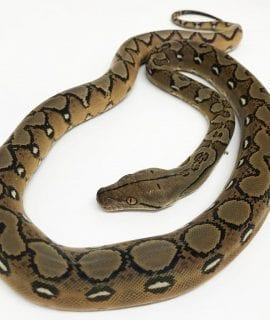Male Sunfire poss het Albino Mainland Reticulated Python CB18