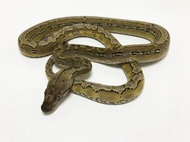 Male Platinum Marble het Anery Super Dwarf Reticulated Python CB18