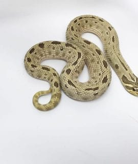 Female Anaconda het Albino Western Hognose CB 200g