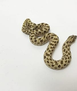 Male Classic het Toffeeglow Western Hognose Breeder Male