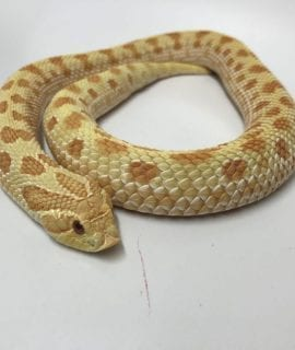 Female High Red Albino Anaconda Western Hognose CB15