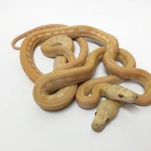 Female Lavender Phantom Tiger Dwarf Reticulated Python CB18