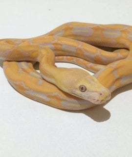 Male Lavender Tiger Mainland Reticulated Python CB17