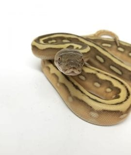 Male Phantom Suntiger 66% het Albino Dwarf Reticulated Python CB18