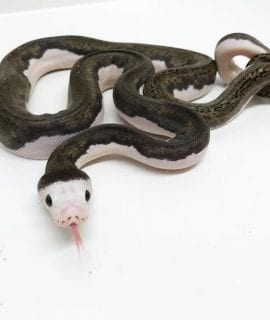 Male White Headed Pied poss het Albino Mainland Reticulated Python CB17