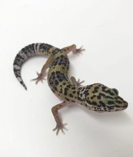 Female Classic Leopard Gecko CB18