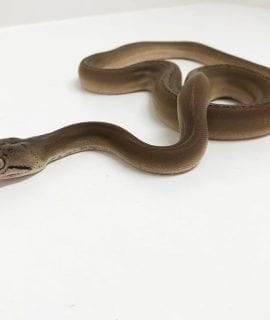 Female Platinum Sunfire Goldenchild pha Mainland Reticulated Python CB18
