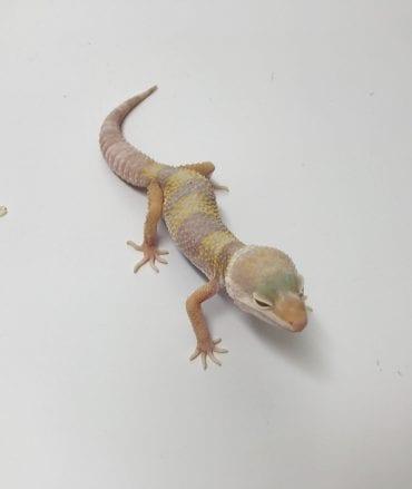 Female Tremper Albino Leopard Gecko CB18