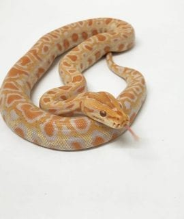 Male Albino het Labyrinth Burmese Python CB18